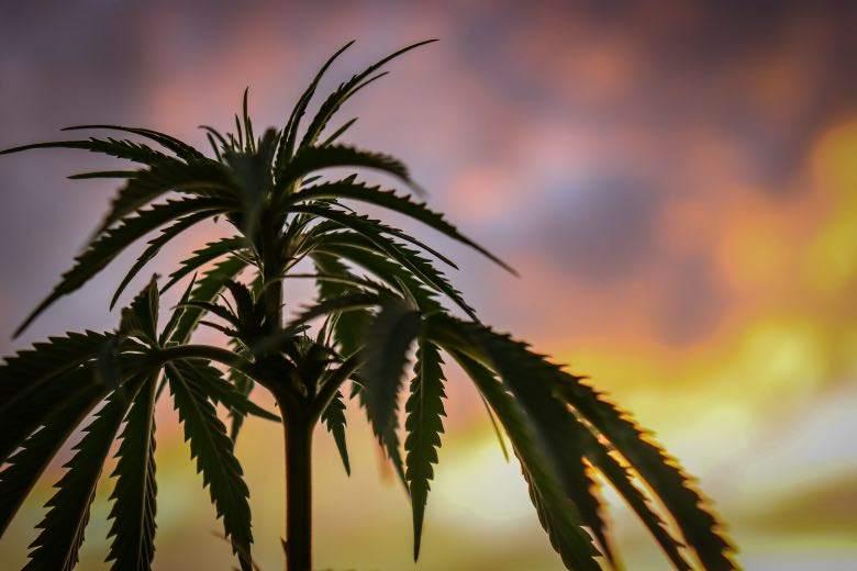 Cannabis sativa: Unterschiede zu indica