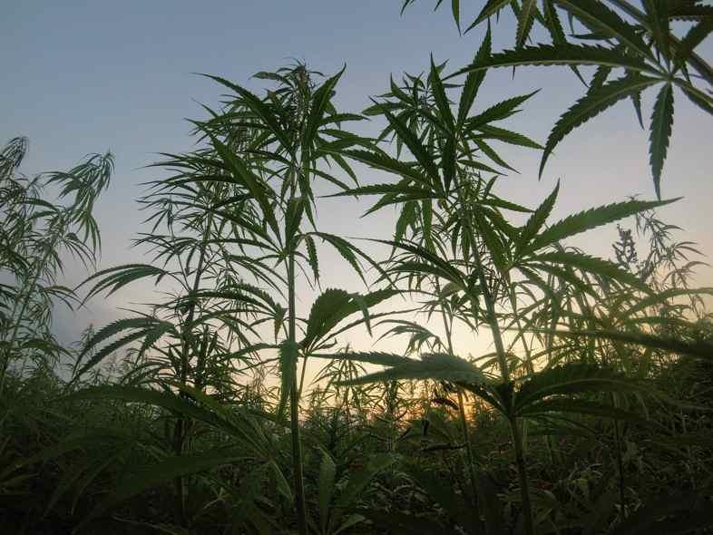 Autoflowering-Pflanzen für draußen: brauchen keinen Rückschnitt