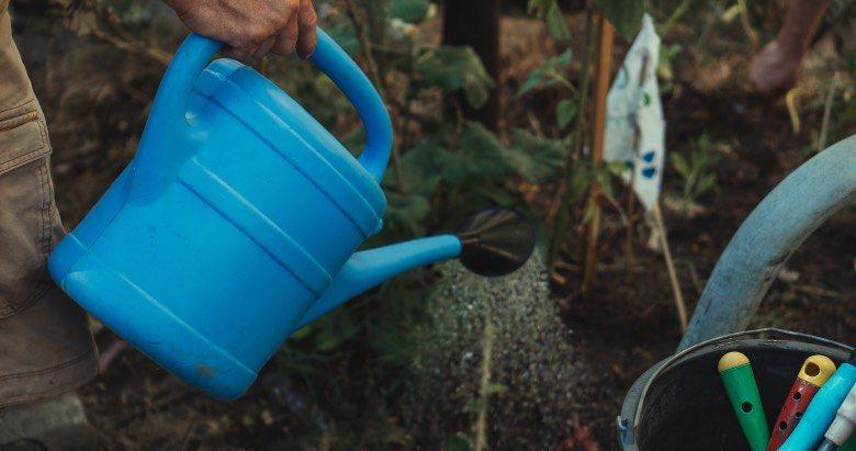 Überwässerung von Cannabispflanzen führt zu gelben Blättern