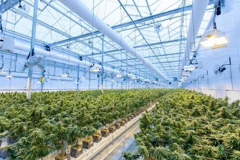 Züchte Cannabissamen und begehe keine Verbrechen