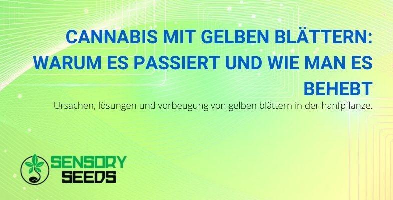 Cannabispflanze mit gelben Blättern