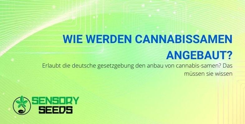 Wie kann man in Deutschland Cannabissamen anbauen?