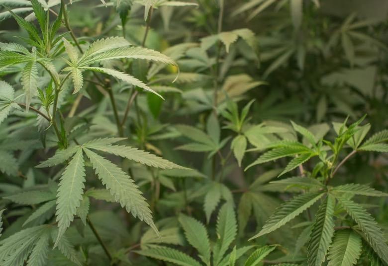 Der Anbau von selbstblühenden Marihuana-Samen ist immer noch eine Ordnungswidrigkeit