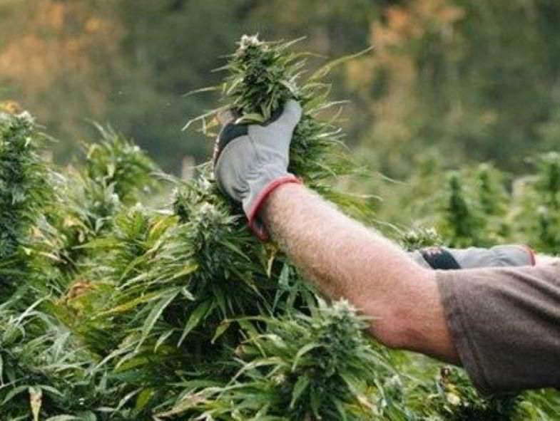 Marihuana ernten