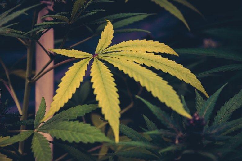 Ursachen für gelbe Blätter in der Cannabispflanze