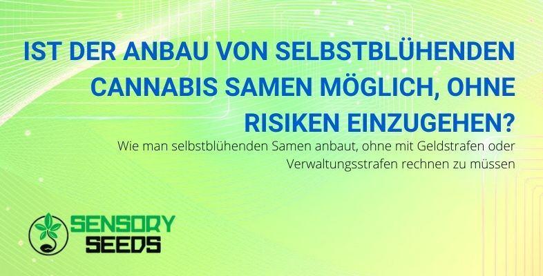 Wie kann man selbstblühende Cannabissamen sicher anbauen?
