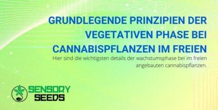 Vegetative Phase bei Outdoor-Cannabispflanzen: die Grundprinzipien