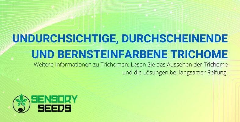 Alle Informationen zu opaken, transluzenten und bernsteinfarbenen Trichomen