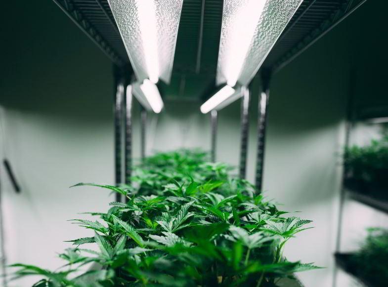Was ist die produktivste Indoor-Hanfpflanze?
