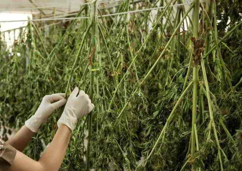 Cannabispflanzen zum Trocknen aufgehängt