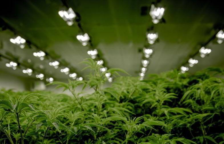 Marihuana-Beleuchtung im Innenbereich