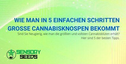 5 Tipps für größere, vollere Cannabisblüten.