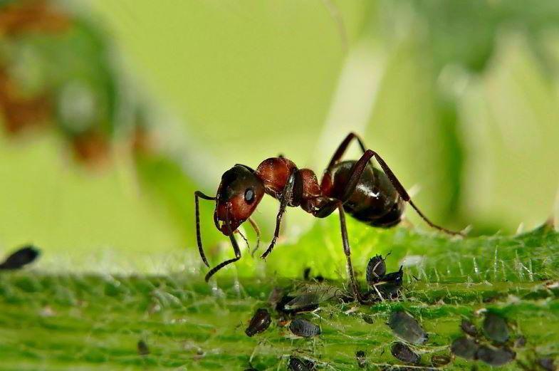 Ameise und Blattläuse auf einer Pflanze